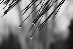 drops (PIKDAME) Tags: drop tropfen bnw bw sw bwphotography photographyphotophotospicpicstagsforlikespicturepicturessnapshotartbeautifulinstagoodpicofthedayphotoofthedaycolorallshotsexposurecompositionfocuscapturemoment schrfe tiefe schrfentiefe abstrakt natur outdoor unschrfe canon canonphotography travelling naturelover worldinadrop little verschwommen fichte baum spiegelung capture