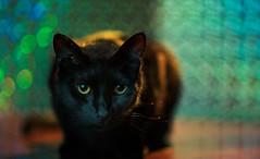 BlackyPortrait (sleepwalken) Tags: light portrait pet black animal speed cat dc nikon kitten control bokeh sony adapter bombay alpha defocus 105mm a7ii strobist bokehlicious yongnuo metabones yn560iii yn560tx