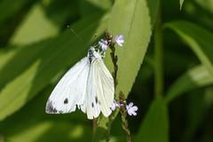Piride du navet (Pieris napi) (aurelien.ebel) Tags: insecte pieridae macro pierinae papillon alsace lawantzenau france papilionoidea