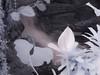 Waterfall 3 Infrared (patrickjgray7) Tags: infrared olympusep1 lifepixel lightroom industar502 digital plants