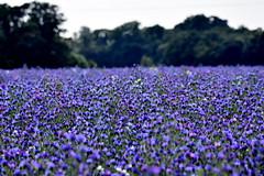 Purple Paradise. (pstone646) Tags: flowers nature landscape colour purple pink flora beauty field kent wildflowers