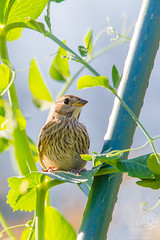 Baby White-crowned Sparrow in Sunflower (wanderinggrrl) Tags: alamy picofweek shutterstock year4week10 baby bird crowned feathers garden juvenile northamerica ornithology perched perching sitting songbird sparrow sunflower usa white whitecrowned wildlife wing young