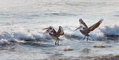 Pelicans-5 (P-B-fotografie) Tags: pimentel animal bird birds flying nature oiseau pelican pelicans peru sea vogel waves wild wildlife