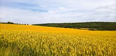 Franken crop field (Antti Tassberg) Tags: cereal crop field franken kes landscape maaseutu pelto travel vilja prosselsheim bayern germany lumia 950xl