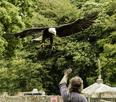 The Show's Over - American Bald Eagle (Alan1297) Tags: americanbaldeagle nikond7200 appuldurcombehouse isleofwight isleofwightowlandfalconrycentre