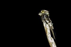 White-winged Potoo - urutau-de-asa-branca - Nyctibius leucopterus