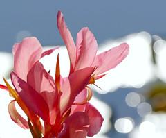 Pink Flowers (Colorado Sands) Tags: blossom flores fleurs fiori flowers bloemen blossoms blommor blossoming fleur flower floral flor bokeh colorado littleton sandraleidholdt pink plant