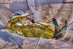 MD Blue (Carol Matthai Photography) Tags: crab bluecrab marylandcrab crabbing fishing net seafood wildlife nature nikon