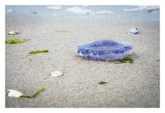 blue jellyfish (08dreizehn) Tags: 08dreizehn gewaesser landschaft meer natur olympusm45mmf18 olympuspenepl7 qualle strand thomashassel beach jellyfish landscape mduse nature nullachtdreizehn paysage plage nebel schleswigholstein deutschland de