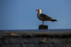 Gabbiano (endivideo) Tags: gabbiani mare uccelli nature gaviotas gulls gavines