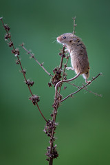Harvest Mouse (Dave Searl) Tags: animal british wildlife centre mammal zoo education wwwbritishwildlifecentrecouk bwc harvest mouse harvestmouse micromysminutus