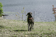 At the lake (VanaTulsi) Tags: vanatulsi weim weimaraner dog blueweim blueweimaraner