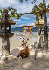 Deer at Itsukushima Shrine (Kostas Trovas) Tags: view tradition color asia tourist canon lowtide flickr shrine instagram landscape ef1740f4 wildlife miyajima travel 6d animal 500px outdoors itsukushima contrast deer japan hiroshima