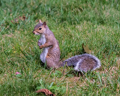 Squirrel standing up for himself (DDB Photography) Tags: squirrel squirrels animal wild life wildlife nature outdoor outdoors rodent mammal sitting standing cute adorable fall 2016