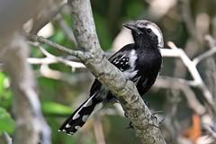 White-fringed Antwren (Kamal50) Tags: whitefringedantwrenformicivoragrisea passerine bird antbird trinidadandtobago cari bbean westindies nature wildlife