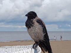 Nebelkrhe am Strand (Frederik VS) Tags: natur vogel nebelkrhe strand usedom ostsee wolken regen lumix g6 dmcg6