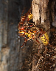 European hornets (Mike Mckenzie8) Tags: vespa crabro british uk wild wildlife insect nest swarm behaviour forest woods tree paper can macro mating