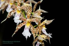 Odontoglossum blandum 6176 (A. Romanko) Tags: odontoglossum blandum