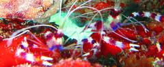 Stenopus hispidus (MaKuriwa) Tags: crustaceos