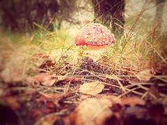 Fliegenpilz (DanielHiller) Tags: fliegenpilz mushroom natur nature vegetable herbstlaub herbst autumn outdoor blatt leafs schneverdingen niedersachsen lowersaxony deutschland germany