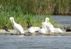 American White Pelican (casparc) Tags: 2016 pelican americanwhitepelican bird