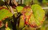 First sings of autumn in the vineyards. (andreasheinrich) Tags: nature vineyard vineleaf autumn october evening sunny colorful germany badenwürttemberg neckarsulm dahenfeld deutschland natur weinberg weinblatt herbst abend sonnig farbenfroh nikond7000