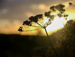 Sunlit (Chris A M) Tags: sunset sun web spiderweb silhouettes silhouette nature