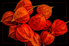 the times they are a changin' (scorpion (13)) Tags: physalis flower nature color photoart creative garden frame cape gooseberry deep red autumn
