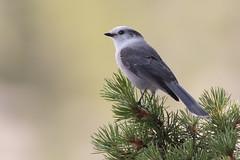 Gray Jay (mayekarulhas) Tags: wyoming yelloestone bird grey jay greyjay avian canon 500mm