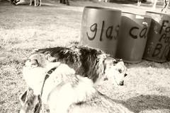 intro (Timoleon Vieta II) Tags: timoleon portrait festival dogs landscape bw sepia glass tension freedom free organised chaos love wolf robot