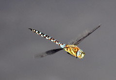 Dragonfly hunting. (pstone646) Tags: dragonfly insect animal nature wildlife flight fauna closeup kent