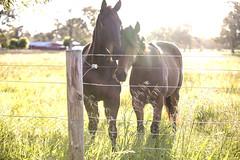 Horses having a snuggle (Caramel Kisses Photography) Tags: horses snuggle cuddle sunlight farm field house flare sunflare glow animals golden beauty canon adelaide adelaidehills australia southaustralia