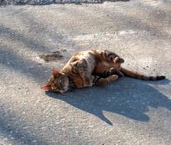 2016- Neighborhood Cat 01 (teresamarkos) Tags: cat cats kitten kittens felines feline