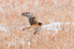 Female Harrier Hawk flyby