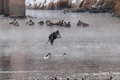 14 of 14 - Bald Eagle Fishing Sequence