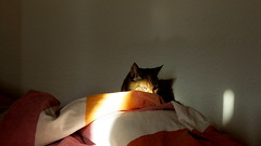 my cat (bogers) Tags: cat kat denhaag poes bogers 20141112