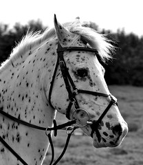 Beautiful spotted Pony! (Sammi Celleste Photography) Tags: blackandwhite horse blackwhite nikon sigma august pony 70300mm equestrian equine blackandwhitephotography 2014 70300