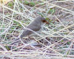 _MG_6432 (rojam1000) Tags: bird birds superb fairy finches bluefacedhoneyeater variegated wren rainbowlorikeet magpies rosellas redrumpedgrassparrots