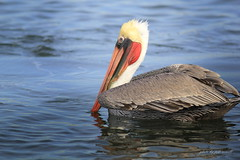 Brown Pelican (Jodi Newell) Tags: california brown bird nature canon wildlife pelican wetlands huntingtonbeach bolsachica jodinewell