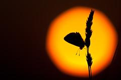 IMG_7830 (adrien.pcctt) Tags: papillon insecte argusbleu
