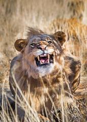 Lion at erindi - Namibia (lucien_photography) Tags: africa travel wild nature animals canon wildlife lion safari bigcat roar namibia namibie markiii wildifephotography canon5dmarkiii 5dmarkiii eirindi