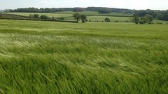 Blowing in the Wind (RoystonVasey) Tags: west apple field barley video wind 5 yorkshire cereal crop iphone