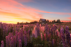 Lupin Light (Chris Gin) Tags: newzealand nz laketekapo lupin tekapo