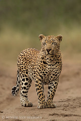 The glory days (hvhe1) Tags: africa wild male nature animal southafrica mammal wildlife safari leopard gamedrive gamereserve luipaard malamala pantherapardus specanimal hvhe1 hennievanheerden airstripmale