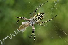 Argiope (luporosso) Tags: naturaleza macro nature closeup spider nikon web natura ragno naturalmente ragnatela luporosso nikond300s