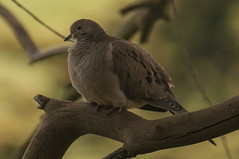 Mourning Dove (Becky Matsubara) Tags: wildcatcanyonregionalpark clarkboastrail bird birds ebparksok dove mourningdove nikon d300 nikond300 afsdxnikkor18300mmf3556gedvr zenaidamacroura