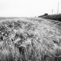 Bls d'automne (michel.lample) Tags: field champs hasselblad fomapan bls lample