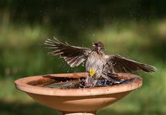 red wattlebird (Anthochaera carunculata)-3070 (rawshorty) Tags: birds australia canberra act symonston rawshorty
