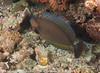 Naso vlamingii - nason zébré - Bignose unicornfish  01.jpg