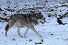 canis lupus lupus (Joachim S. Müller) Tags: animal germany munich münchen mammal bayern deutschland bavaria zoo wolf tierpark graywolf tier hellabrunn greywolf canis tierparkhellabrunn canislupus säugetier zoomünchen canislupuslupus eurasianwolf commonwolf grauwolf
